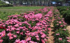 北戴河养老院-花圃